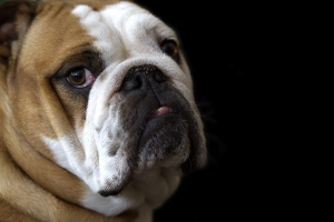 Bulldog (small)