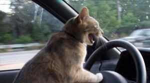 Angry Cat Driver